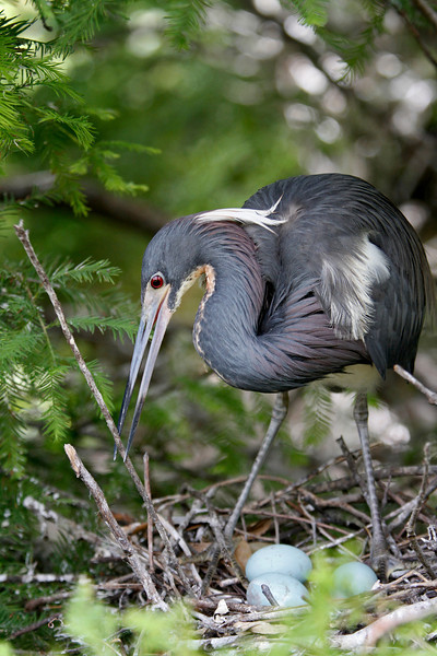 Nature Photographer Jerry Dalrymple shares images of a rookery in Florida. This is a tri-colored heron.