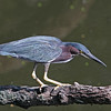 Nature Photographer Jerry Dalrymple shares images of a rookery in Florida. This is a little green heron.