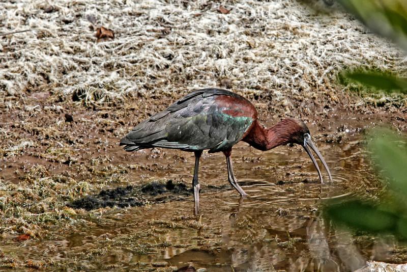 Nature Photographer Jerry Dalrymple shares images of a rookery in Florida. This is a glossy ibis fishing in a swamp on Merritt Island, Florida