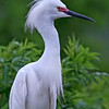 Nature Photographer Jerry Dalrymple shares images of a rookery in Florida. This is a snowy egret.
