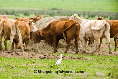 Cattle Egret in Pasture, Crawford County, Arkansas