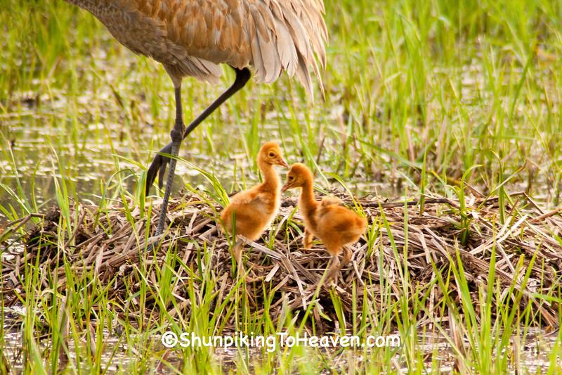 Sandhill Crane Chicks, Dane County, Wisconsin