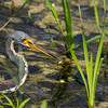 Tri-cloored heron with small fish