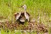 Sandhill Crane Chick Climbing onto Mother Crane, Dane County, Wisconsin