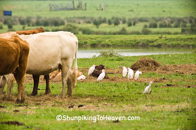 Cattle Egrets in Pasture, Crawford County, Arkansas