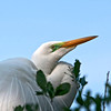 Nature Photographer Jerry Dalrymple shares images of a rookery in Florida. This is a great egret.