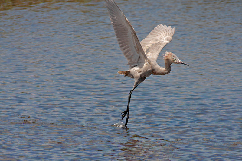 Nature Photographer Jerry Dalrymple shares images of a rookery in Florida. This is a reddish egret fishing in a swamp on Merritt Island, Florida