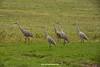 Sandhill Cranes in Autumn, Wood County, Wisconsin