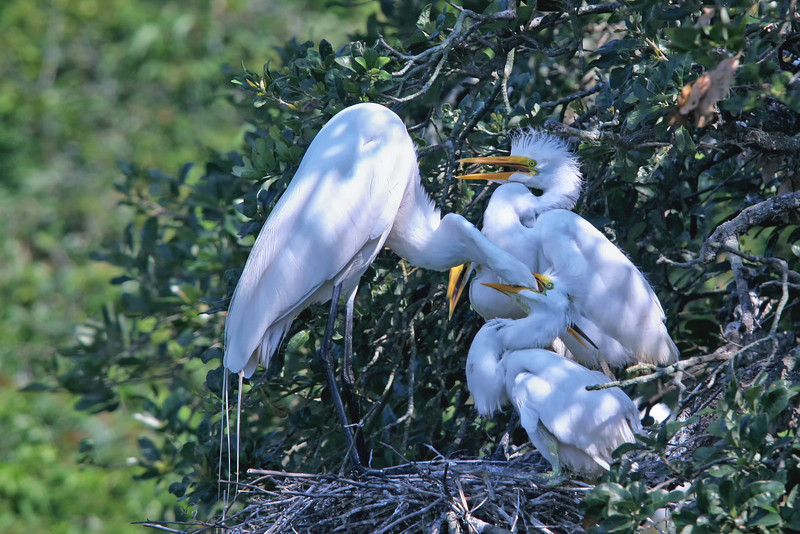 Nature Photographer Jerry Dalrymple shares images of a rookery in Florida. These are great egrets