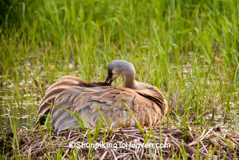 Sandhill Crane on Nest, Dane County, Wisconsin