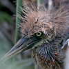 Nature Photographer Jerry Dalrymple shares images of a rookery in Florida. This is a tri-colored heron chick.
