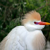 Nature Photographer Jerry Dalrymple shares images of a rookery in Florida. This is a cattle egret.