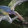 Little green heron taken by Jerry Dalrymple