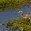 tri-colored-heron, Florida, swamp, Apopka lake
