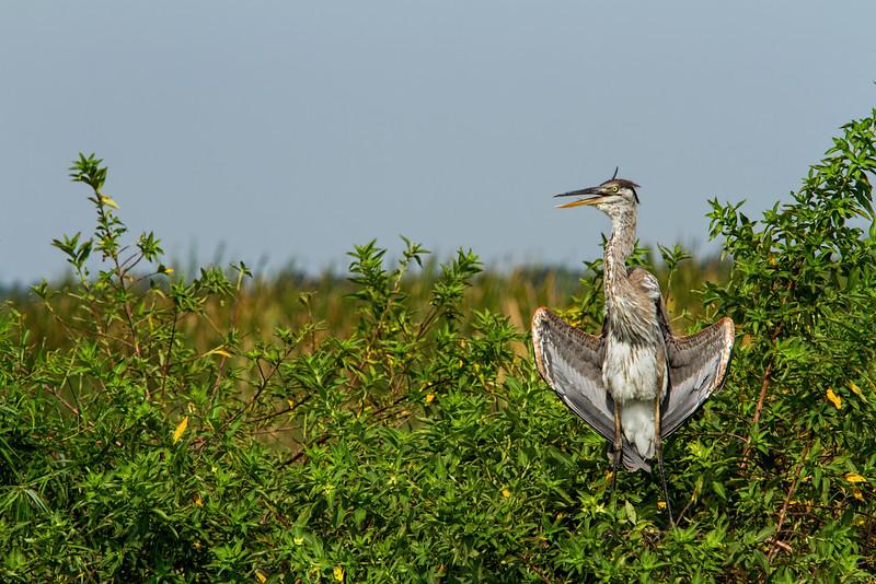 Great blue heron, central Florida