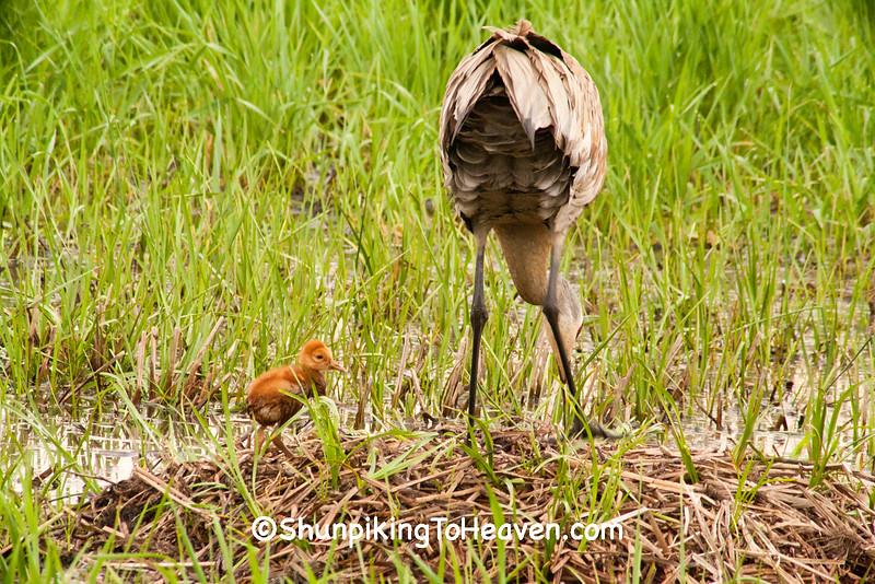 Sandhill Crane with Chick, Dane County, Wisconsin