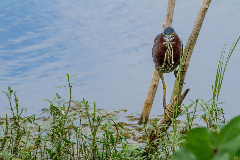 little green heron, Florida, swamp, Apopka lake