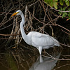 Nature Photographer Jerry Dalrymple shares images of a rookery in Florida. This is a great egret fishing in a swamp on Merritt Island, Florida