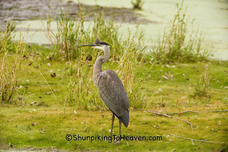 Great Blue Heron, Rock County, Wisconsin