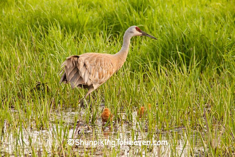 Sandhill Crane with Chicks, Dane County, Wisconsin