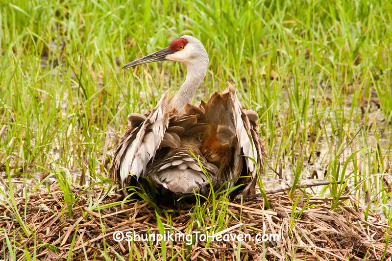 Sandhill Crane with Chick on Her Back, Dane County, Wisconsin