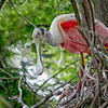 Nature Photographer Jerry Dalrymple shares images of a rookery in Florida. This is a roseate spoonbill and chick in a swamp on Merritt Island, Florida