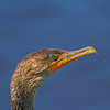 Female cormorant