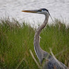 Great blue heron in a swamp in Florida.