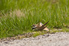 Kildeer Displaying Broken Wing Behavior, Lawrence County, Missouri