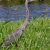Great blue heron, central Florida