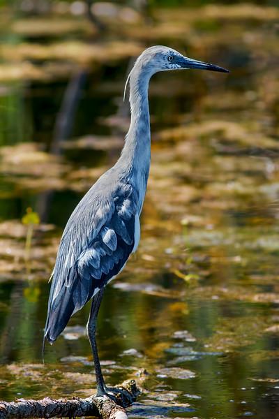 Little Blue Heron - juvenil