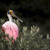 Roseate Spoonbill Merritt Island, Florida taken by Jerry Dalrymple