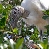 Nature Photographer Jerry Dalrymple shares images of a rookery in Florida. This is a wood stork and chick.