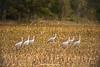Sandhill Crane Gathering, Waupaca County, Wisconsin