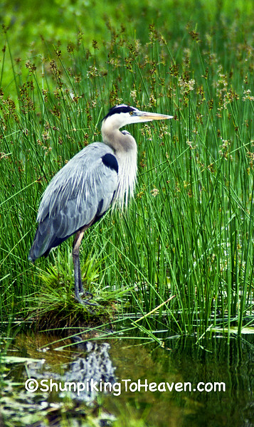 Great Blue Heron, Waupaca County, Wisconsin