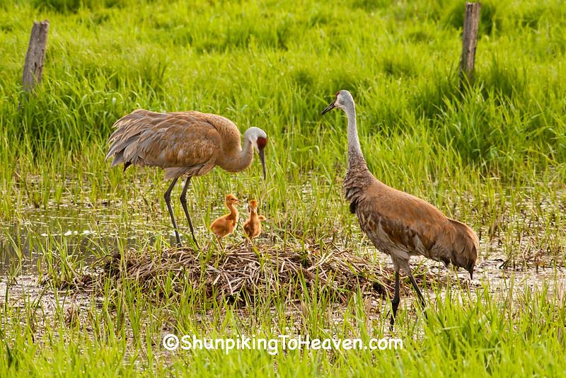 Sandhill Cranes with Chicks, Dane County, Wisconsin