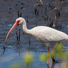 White Ibis, Merritt Island, FL - taken by Jerry Dalrymple