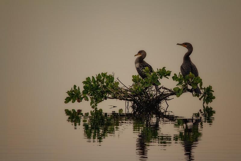 cormorants in the morning fog