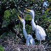 Jerry Dalrymple shares images of a rookery in Florida. These are great egrets chicks.