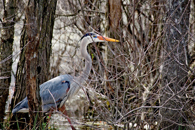 Great Blue heron in the Mascatatuck Nature preserve, Seymour, Ind.