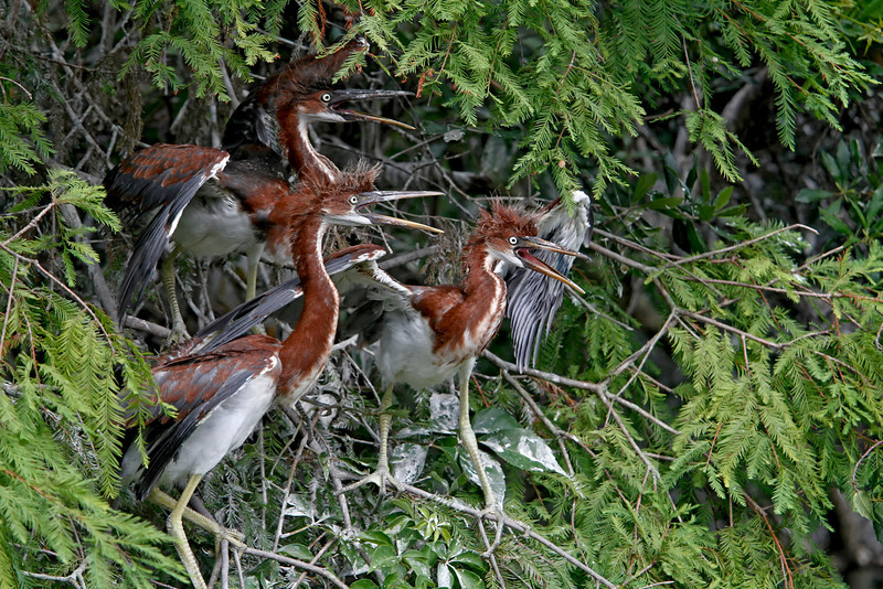 Nature Photographer Jerry Dalrymple shares images of a rookery in Florida. This are tri-colored heron chicks.
