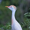 Nature photographer Jerry Dalrymple shares images of a rookery in Florida. These is a cattle egret