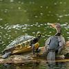 cormorant and turtle