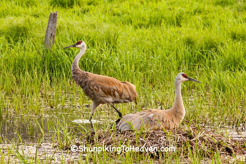 Sandhill Cranes with Nest, Dane County, Wisconsin
