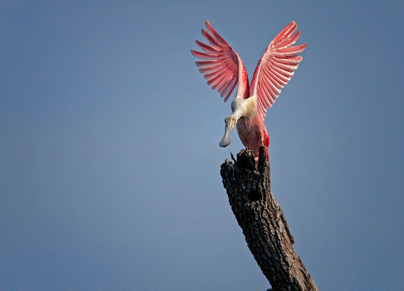 Nature Photographer Jerry Dalrymple shares images of a rookery in Florida. This is a roseate spoonbill in a swamp on Merritt Island, Florida