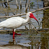 White Ibis in his mating attir