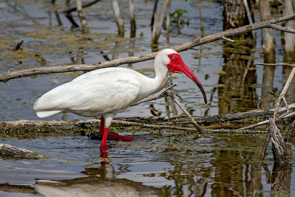 White Ibis in his mating attir