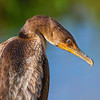 double crested cormorant, central Florida taken by Jerry Dalrymple