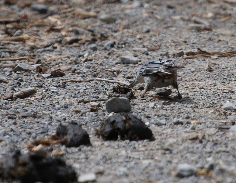 Nuthatch snooping around horse-poop on Madison Run Fire Rd