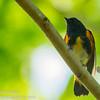 American Redstart